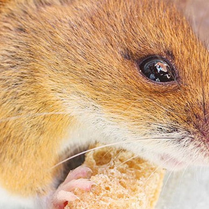 Mantén a los roedores alejados de tu casa