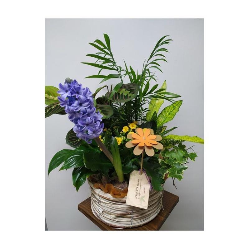 Arreglos de plantas: Catálogo de Flores Maranta