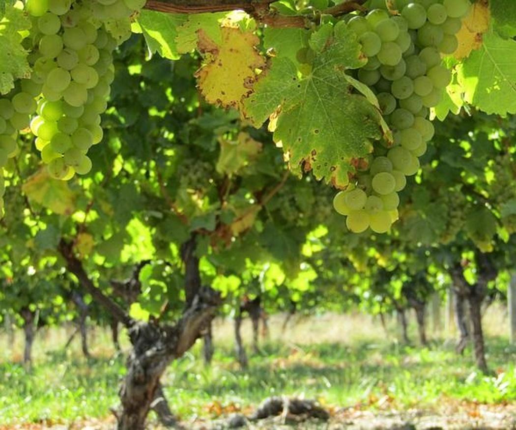 ¿Cómo mantener sano nuestro viñedo?