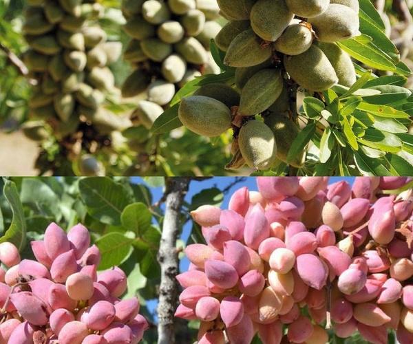Comercialización de almendra y pistacho