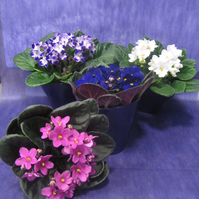 Sant Paulia: Nuestras flores de Bouquet Flores y Plantas