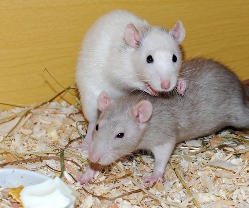 Cómo evitar la aparición de ratas en las casas