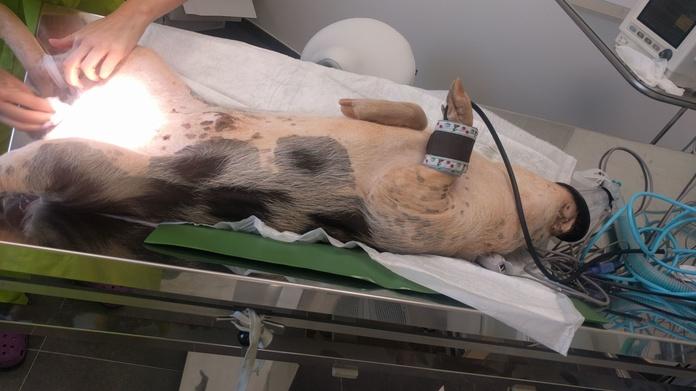 CASTRACION CERDO VIETNAMITA PUMBA.  Tot Exotics Valencia. clinica veterinaria de animales exóticos en San a