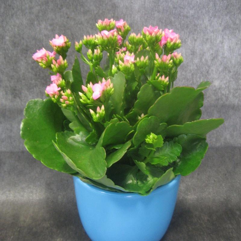 Kalanchoe Rosa: Nuestras flores de Bouquet Flores y Plantas