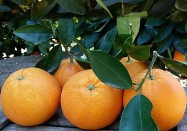 Naranjas de Mesa Grandes 20kg