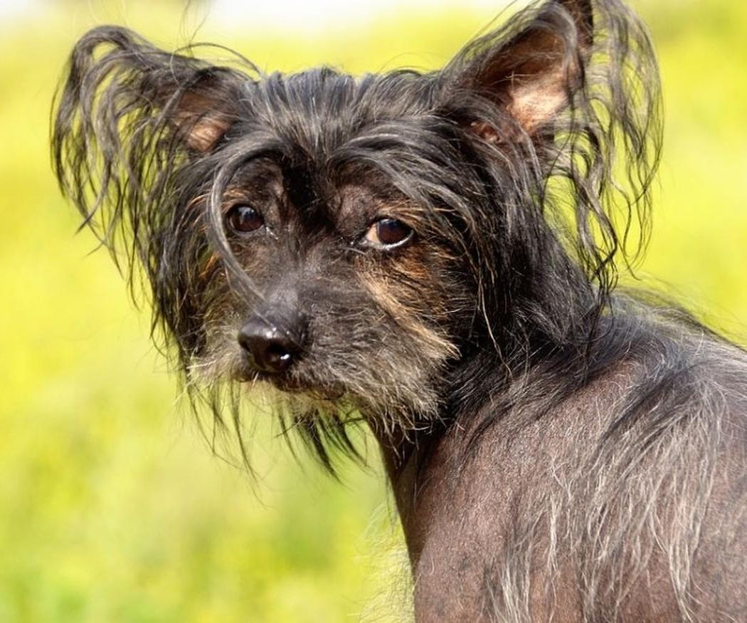 Razas de perros curiosas que posiblemente no conozcas