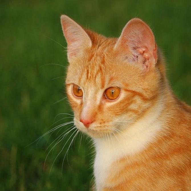 Leucemia felina: contagio y factores de riesgo
