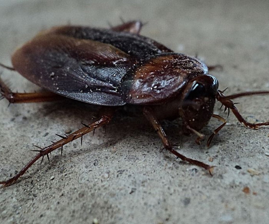 ¿Qué provoca la aparición de cucarachas?