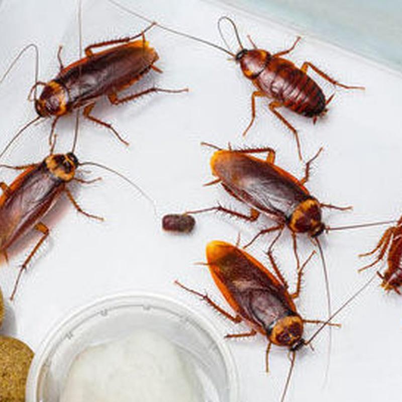 Eliminación de cucarachas en Bizkaia