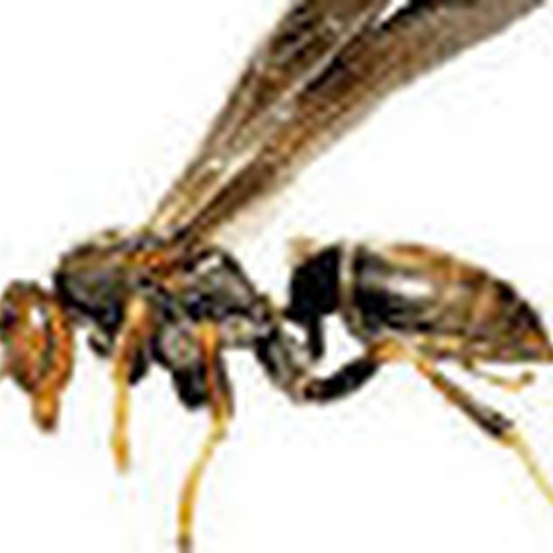 Contol de plagas de avispas