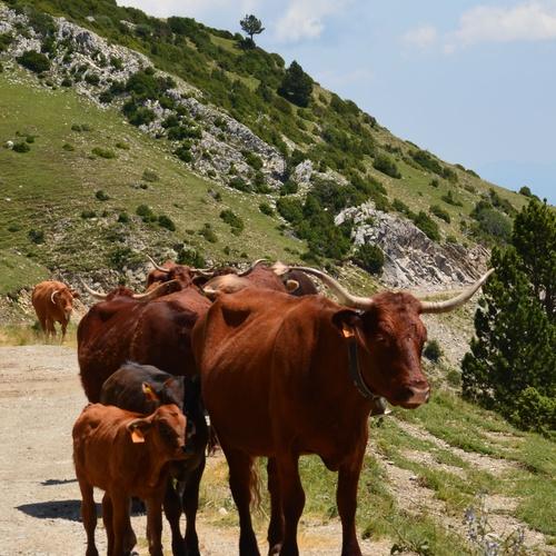 Carne ecológica en Tarragona   Vedella Ecològica del Pedroforca
