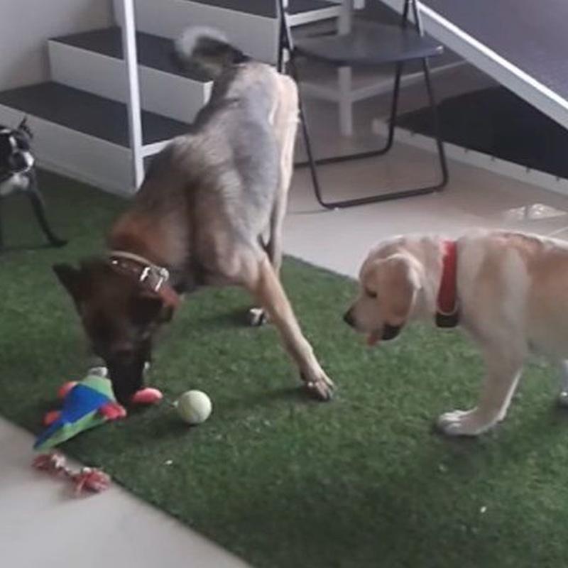 Guardería, educación y psicología canina: Servicios de Clínica Veterinaria Habana Boston