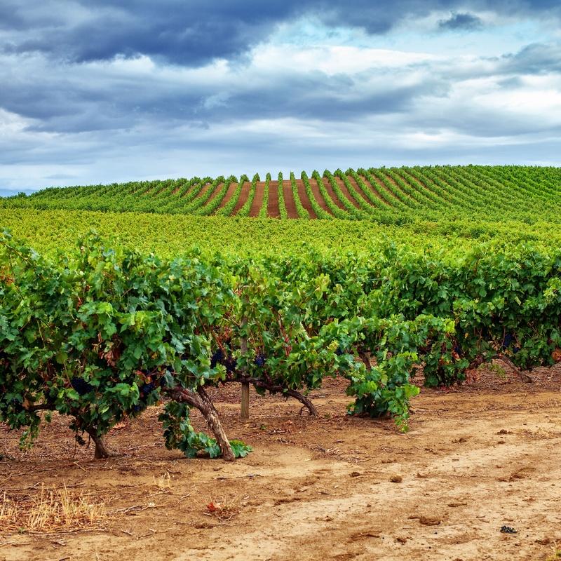 Plantación de viñas y viñedos: Servicios de AGROManchuela