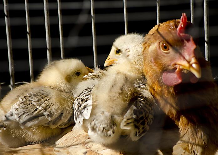 Piensos para aves: Productos y servicios de Piensos Fauna