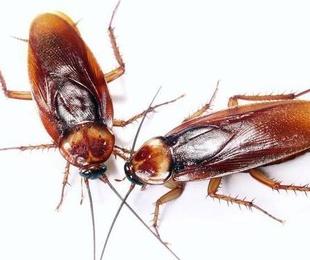 Plaga de cucarachas en Ibiza