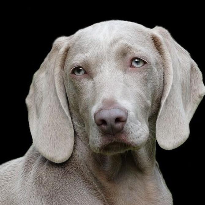La artrosis en los perros