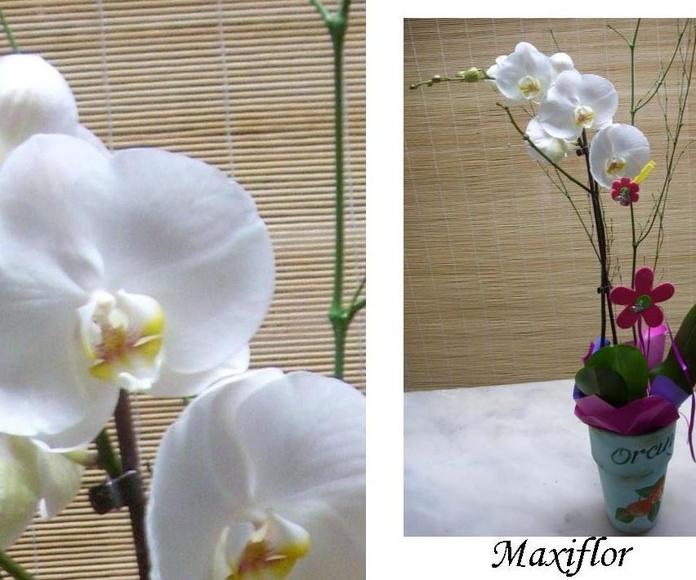Orquidea Phalaepnosis blanca