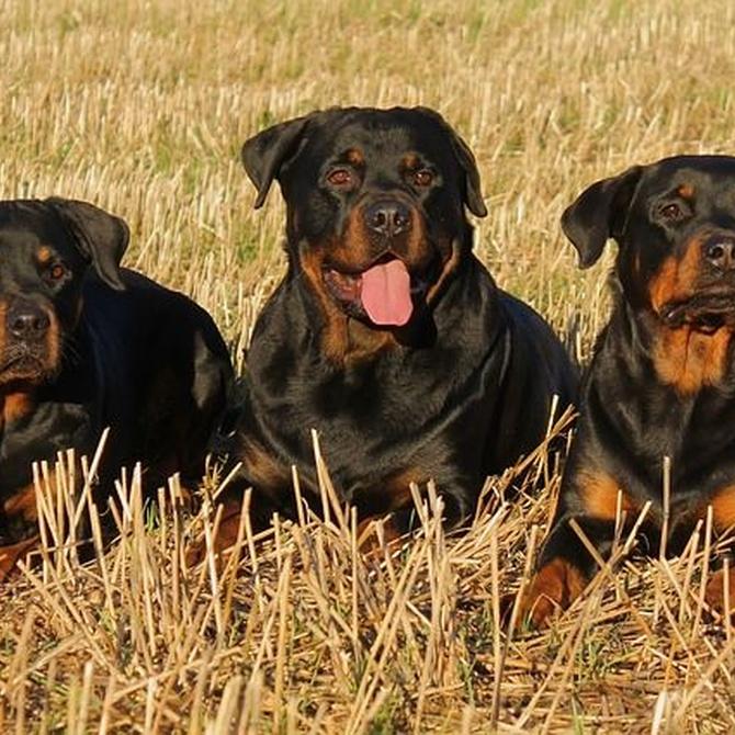 Las cirugías más habituales en los perros