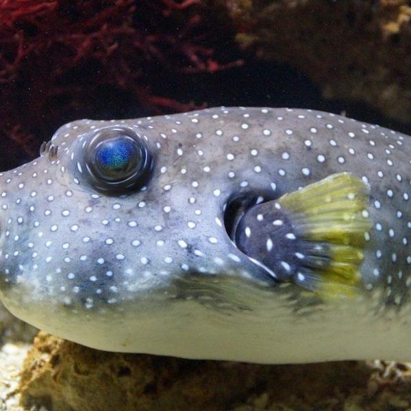 El pez globo, una delicia peligrosa
