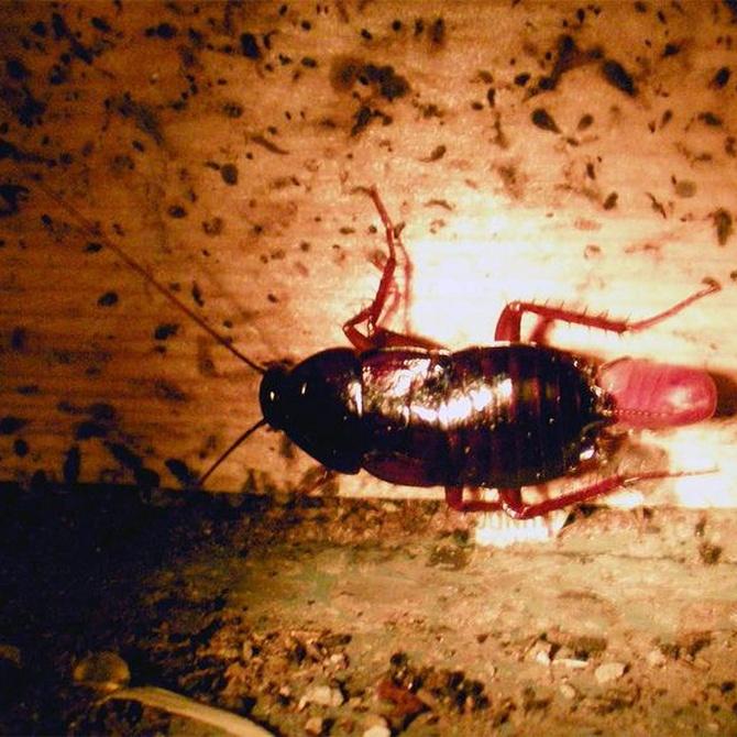Las cucarachas, una plaga peligrosa
