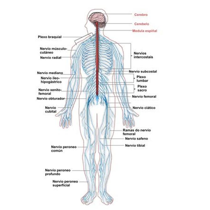 Los nervios periféricos y sus lesiones