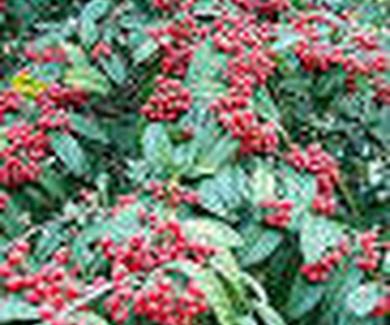 Cotoneaster frigidus Ref. 14 ( Arbusto )