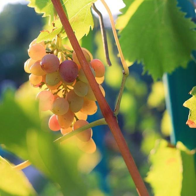 Así son los vinos de la uva Godello