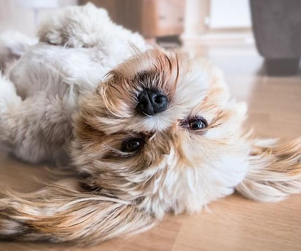 ¿Es recomendable cortarle el pelo a nuestra mascota?
