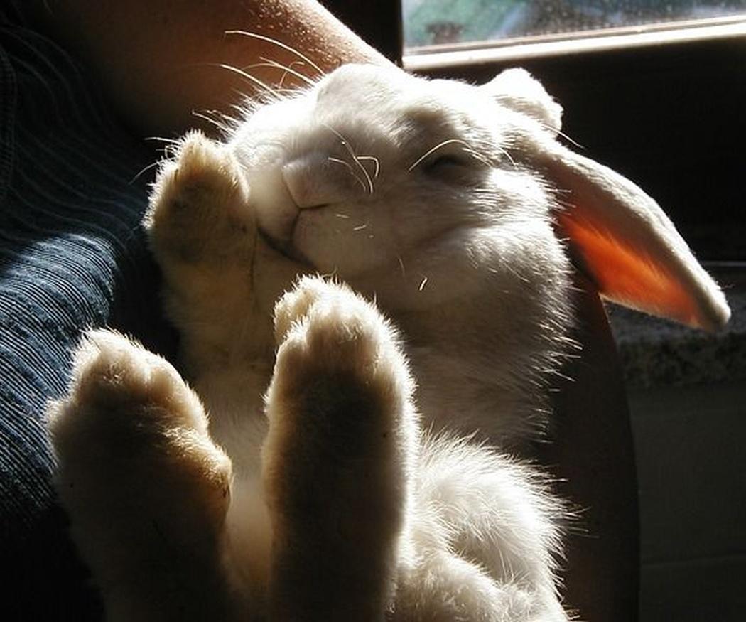 Consejos para alimentar a un conejo doméstico