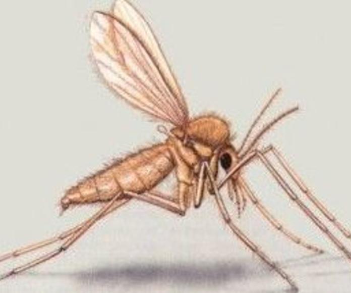 Especie de Phlebotomus spp.