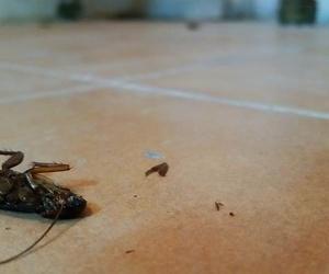 Cucarachas - Desinsectación