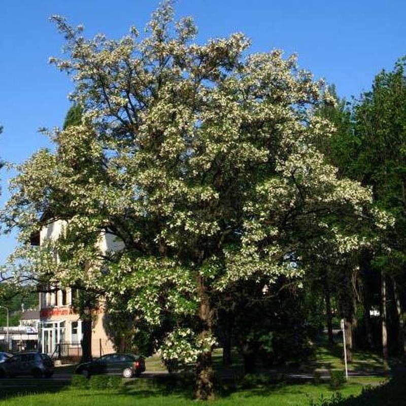 Acacia blanca Ref.53  ÁRBOL