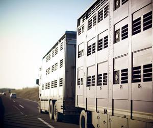 Transporte de cerdos en Barcelona