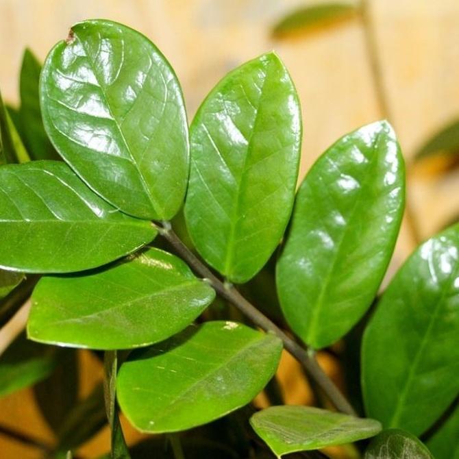Una de las plantas de interior más resistentes: la zamioculca