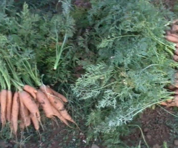Zanahorias recien cogidas