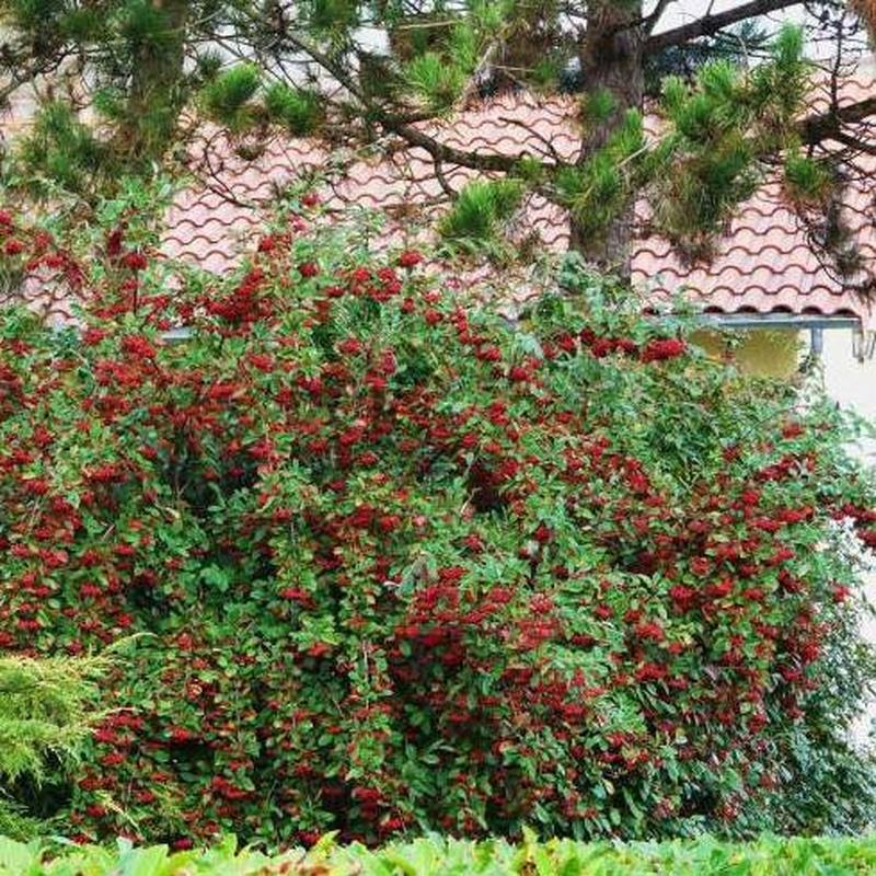 Cotoneaster lacteus Ref. 7  ( ARBUSTO )