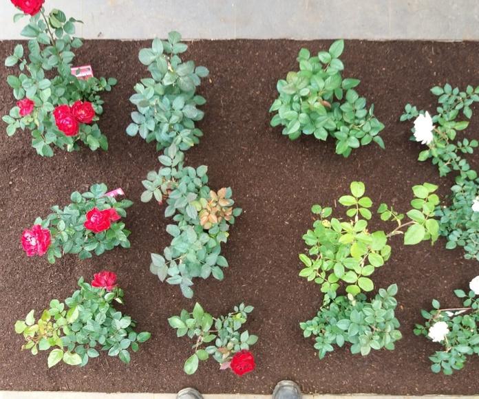 Plantación de rosaleda: Servicios de GT Verde
