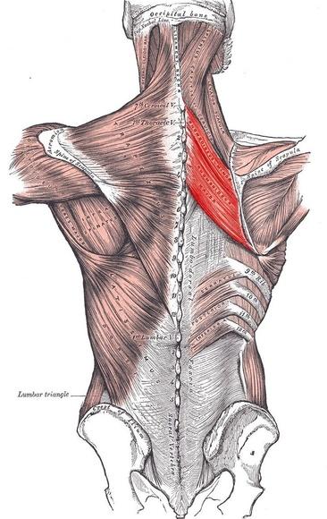Musculo elevador de la escapula