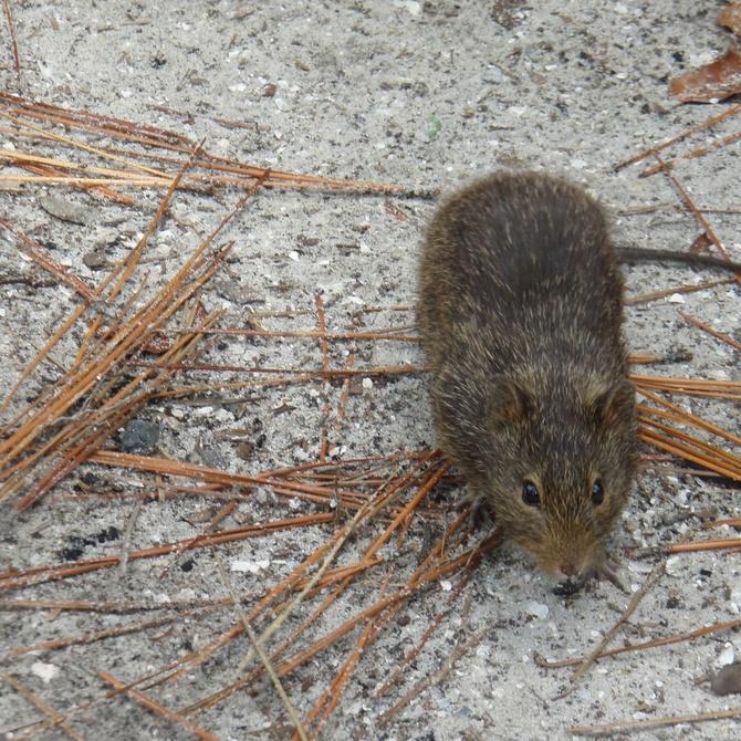 Evitar plagas de roedores con el calor