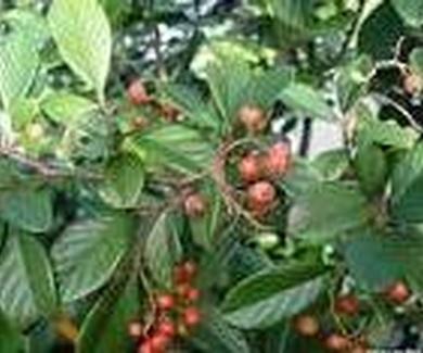 Cotoneaster glaucophyllus Ref. 15 ( Arbusto )