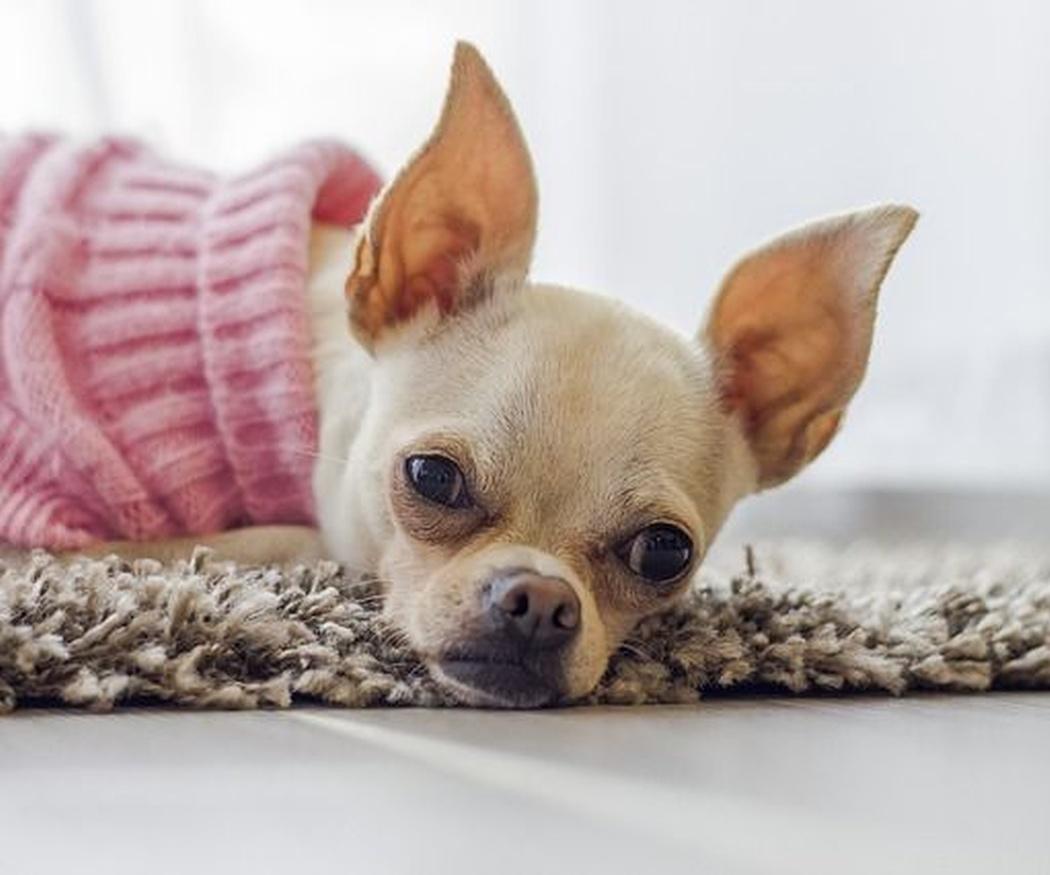 ¿Cuándo es necesario que un perro vaya abrigado?