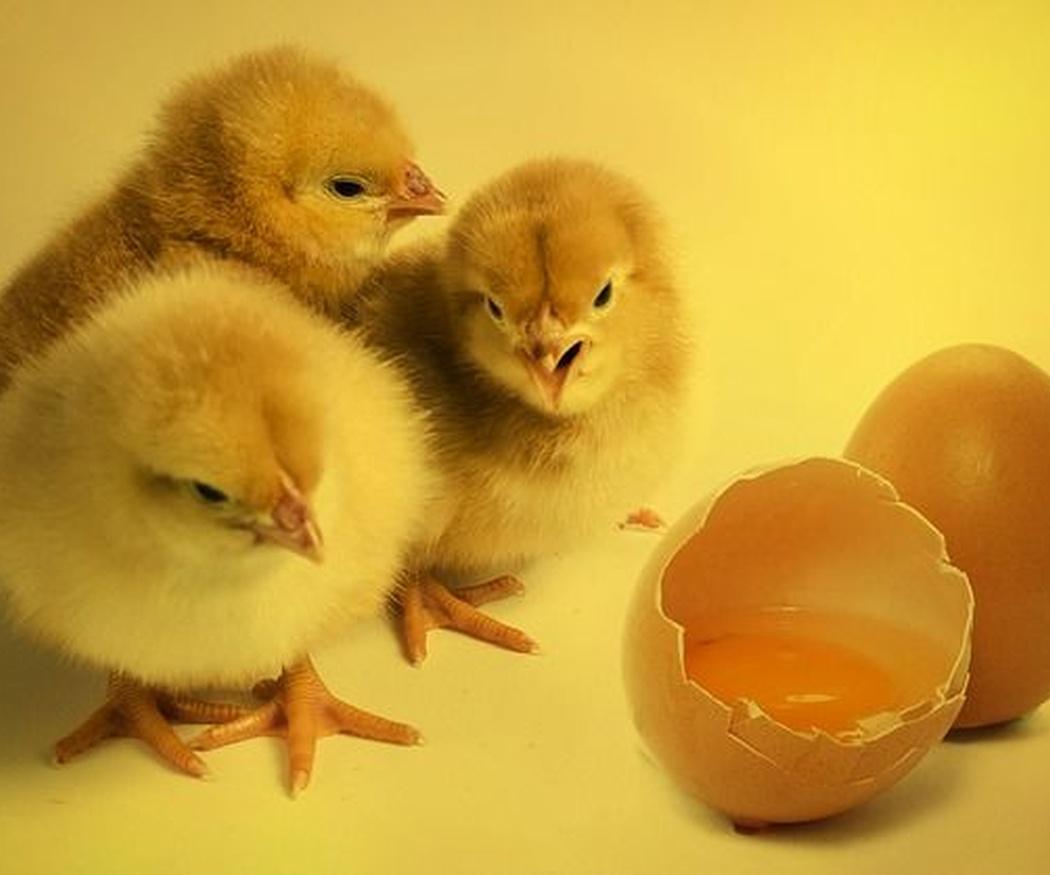 ¿Qué función tiene la clara de huevo?