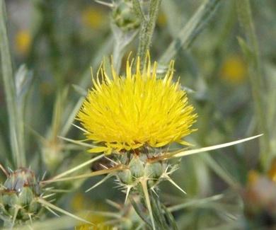ABREPUÑOS Ref. 1 ( plantas medicinales )