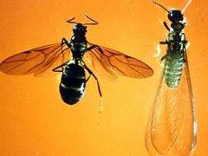 Eliminación de plagas de hormigas