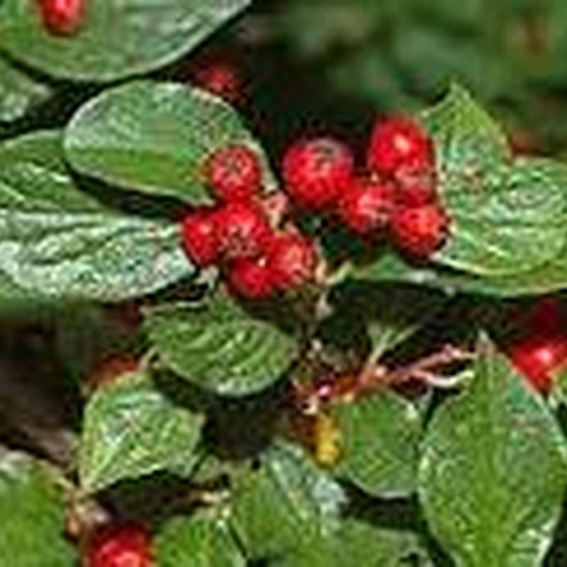 Cotoneaster racemiflorus