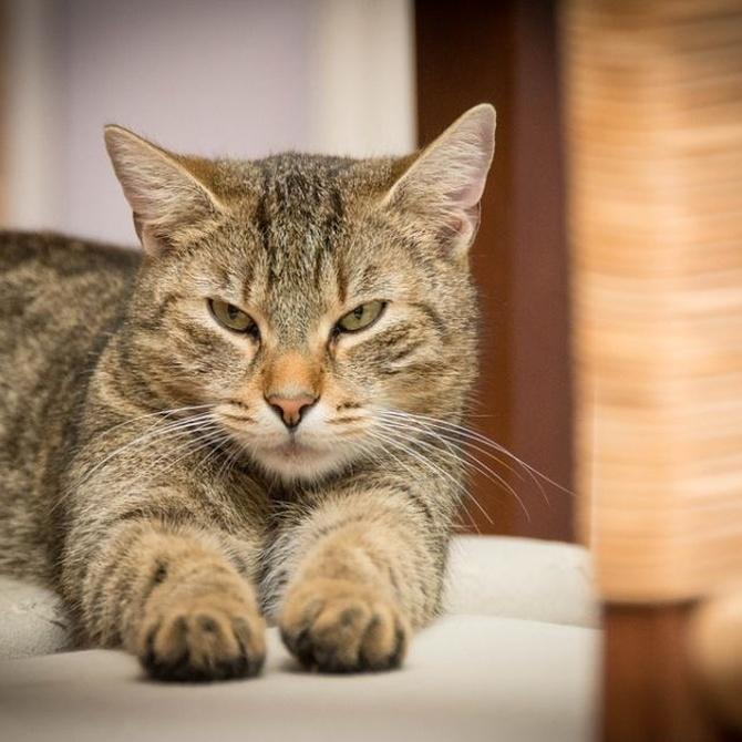 Leucemia felina: peligros y vacunación