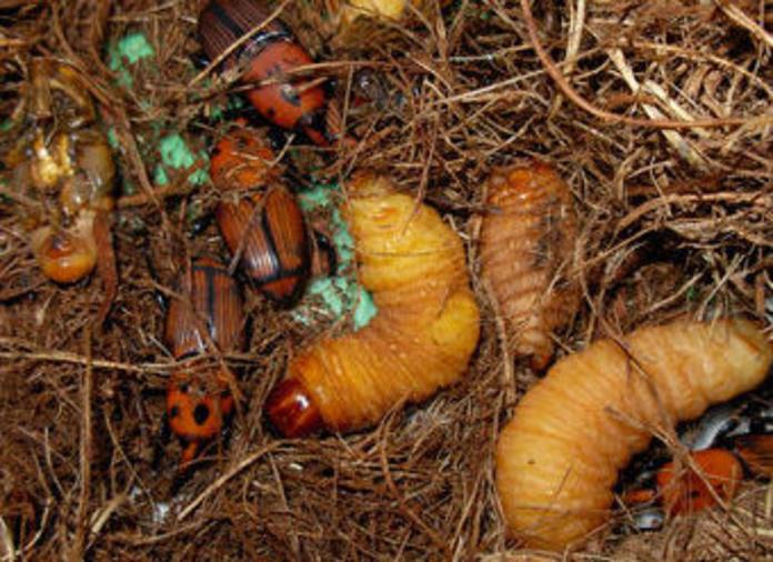 Prevención y tratamiento para el Picudo Rojo : CATÁLOGO de Tamar Gardens
