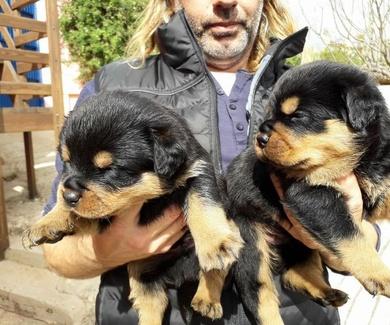 Disponibilidad cachorros de Rottweiler espectaculares .