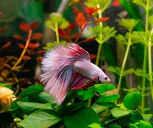 Betta: el pez más elegante para tu acuario