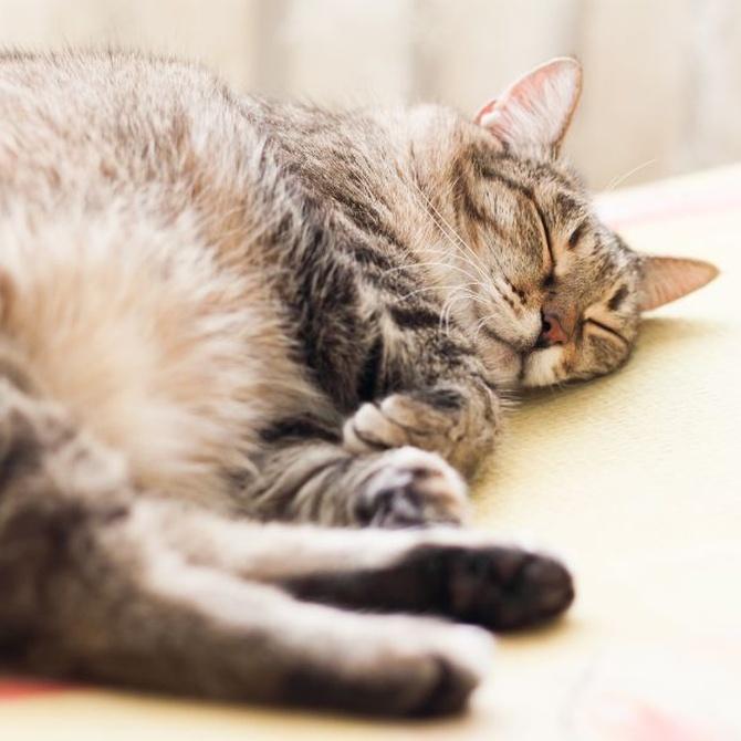 Qué es lipidosis hepática felina
